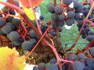 nest in the grapes