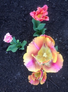 my favorite tulip
