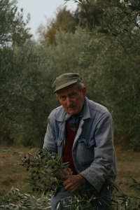 olive harvest in Tuscany